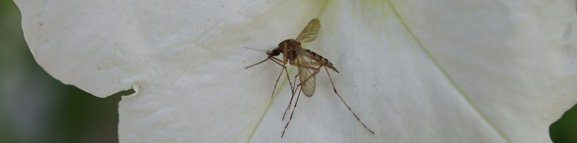 A list of mosquito repelling plants