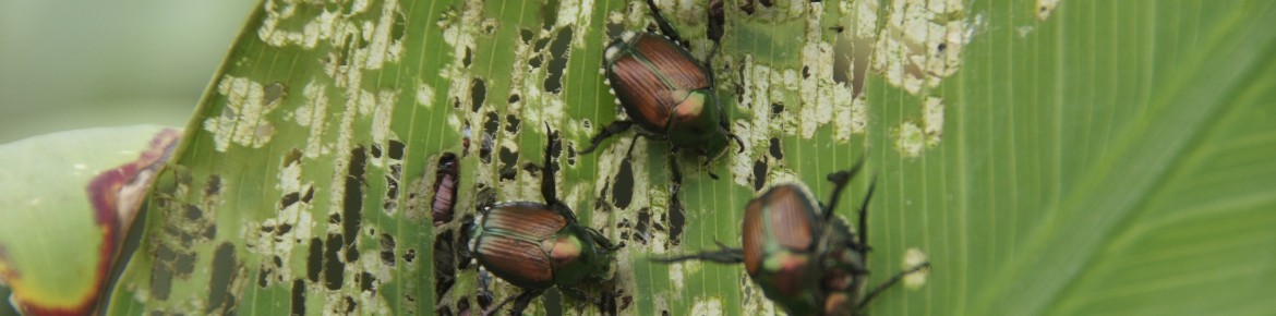 How to Control Japanese Beetle