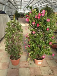 Before and after pruning dipladenia