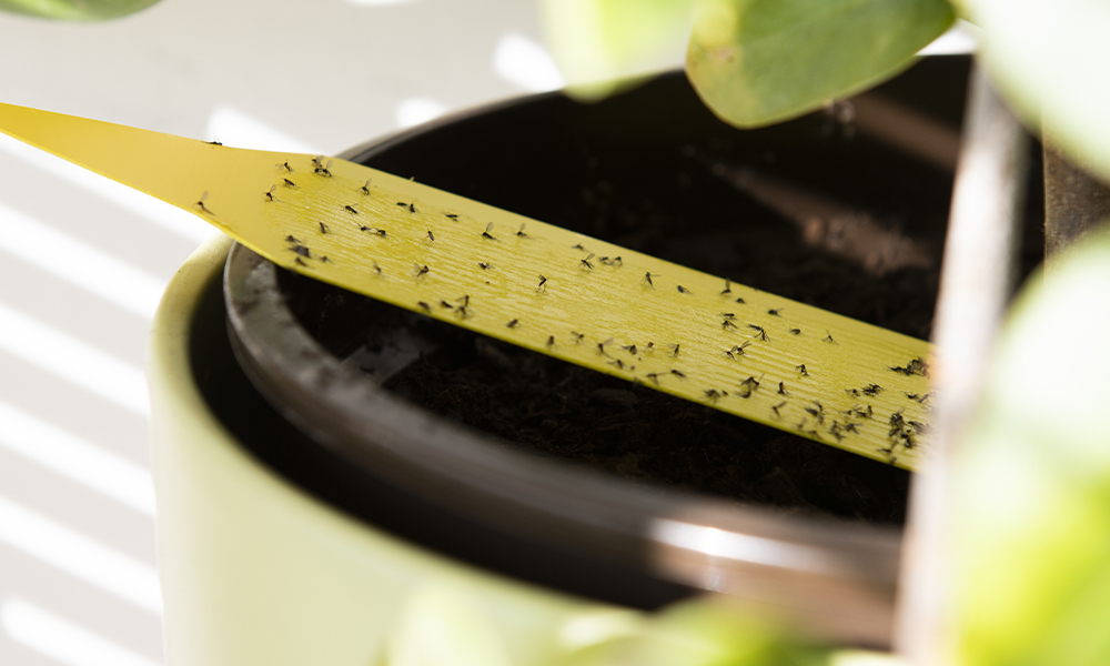 Gnats on a yellow strip