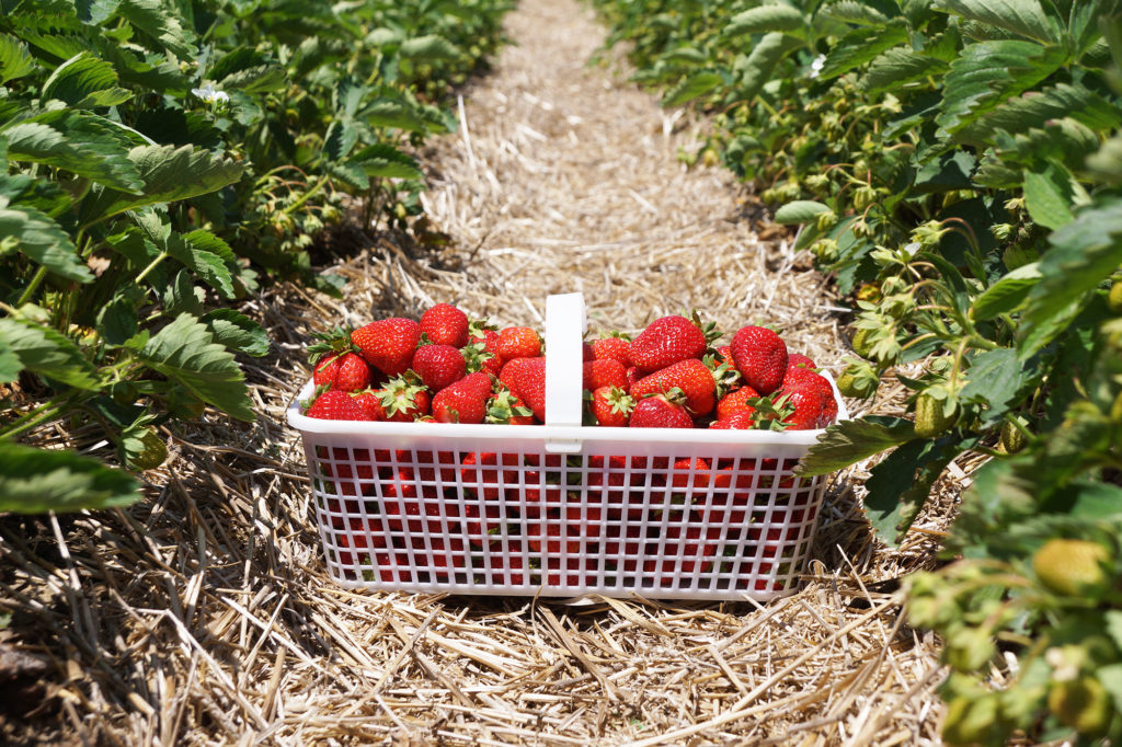 Basket_Strawberry_4L